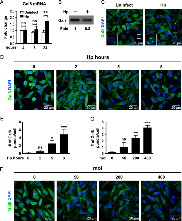Helicobacter pylori induces intracellular galectin-8 aggregation around damaged lysosomes within gastric epithelial cells in a host O-glycan-dependent manner