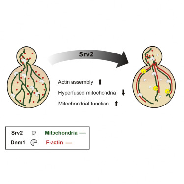 Srv2 Is a Pro-fission Factor that Modulates Yeast Mitochondrial Morphology and Respiration by Regulating Actin Assembly