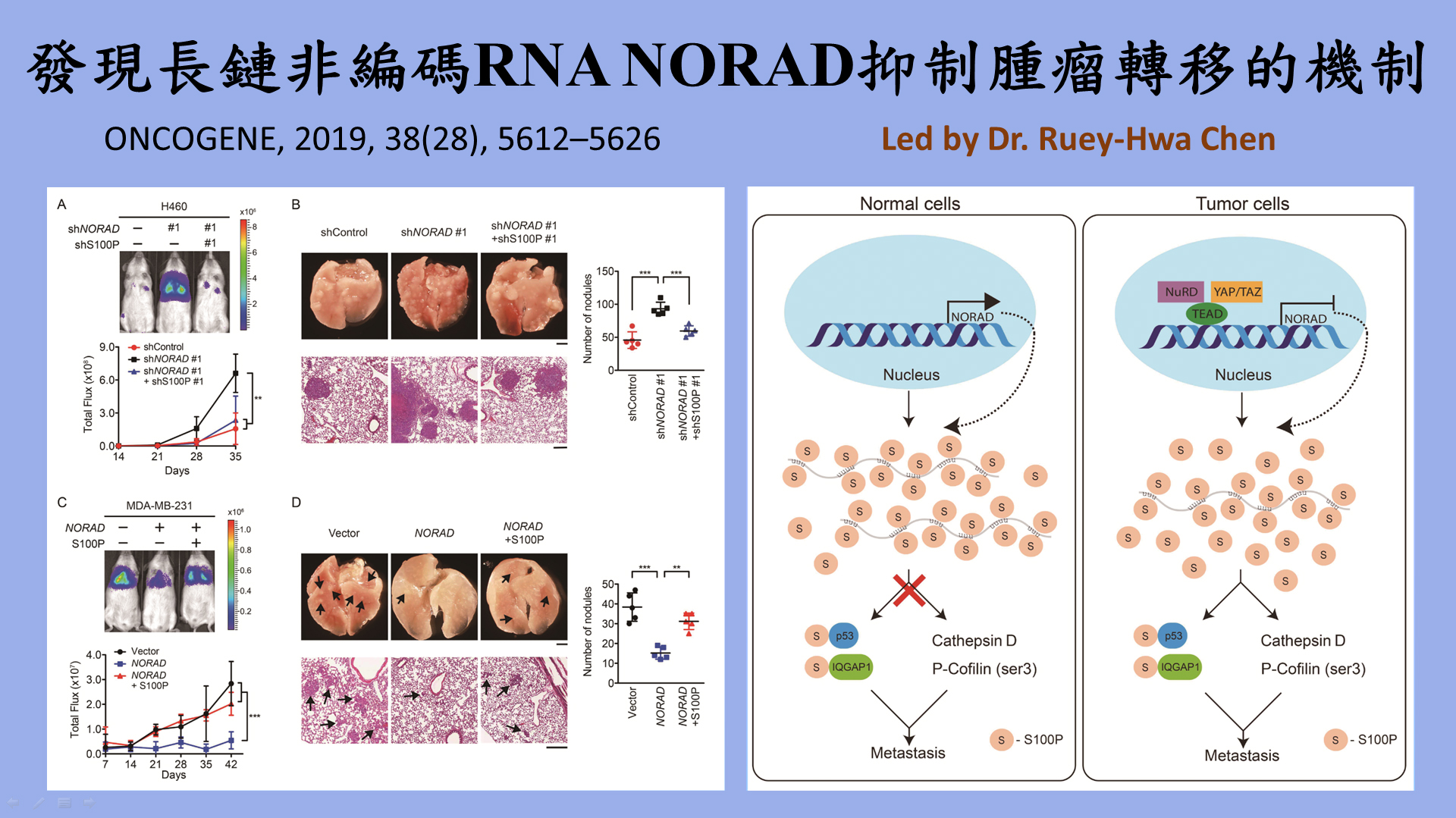LncRNA NORAD is repressed by the YAP pathway and suppresses lung and breast cancer metastasis by sequestering S100P