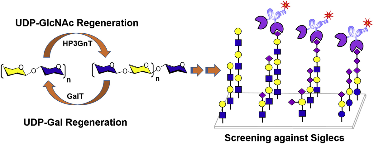 Expedient assembly of Oligo-LacNAcs by a sugar nucleotide regeneration system: Finding the role of tandem LacNAc and sialic acid position towards siglec binding