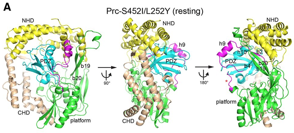 Structural Basis for the Differential Regulatory Roles of the PDZ Domain in C-Terminal Processing Proteases