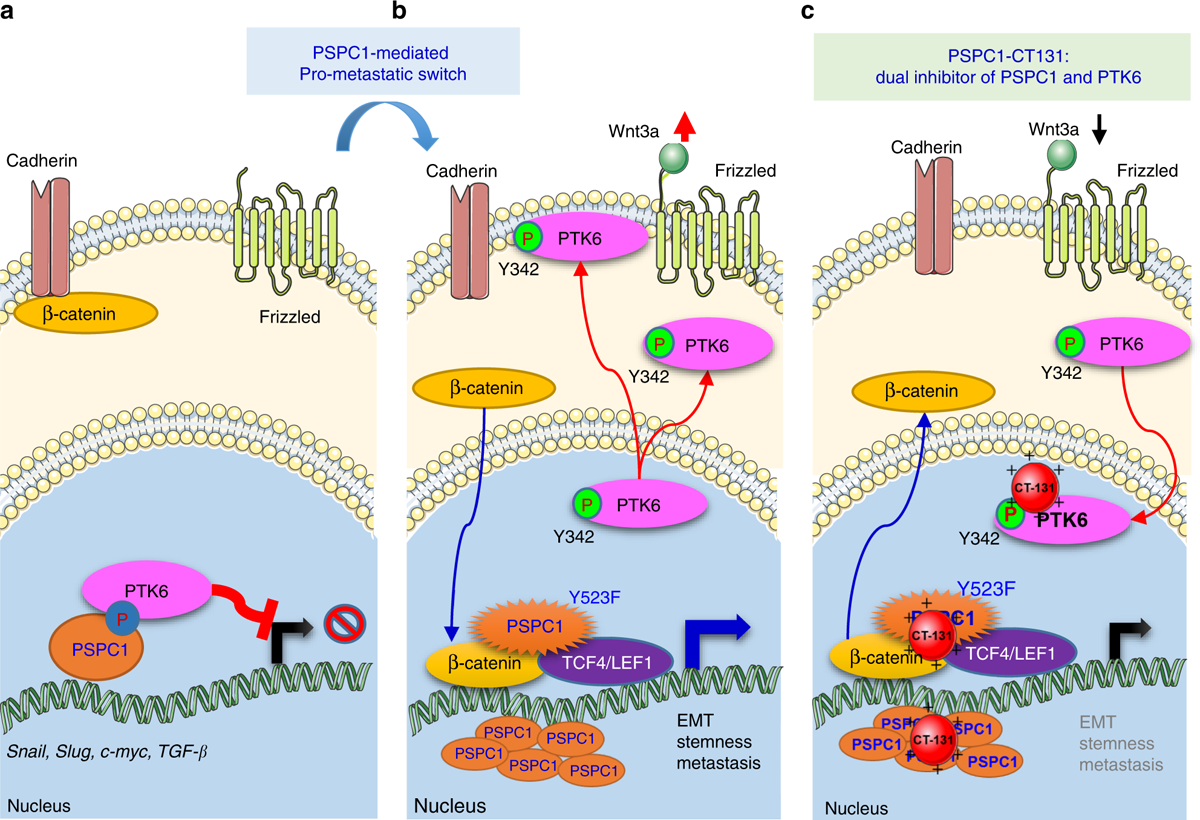PSPC1-interchanged interactions with PTK6 and β-catenin synergize oncogenic subcellular translocations and tumor progression