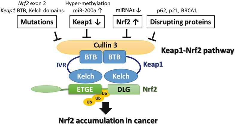 Cullin 3 and Its Role in Tumorigenesis