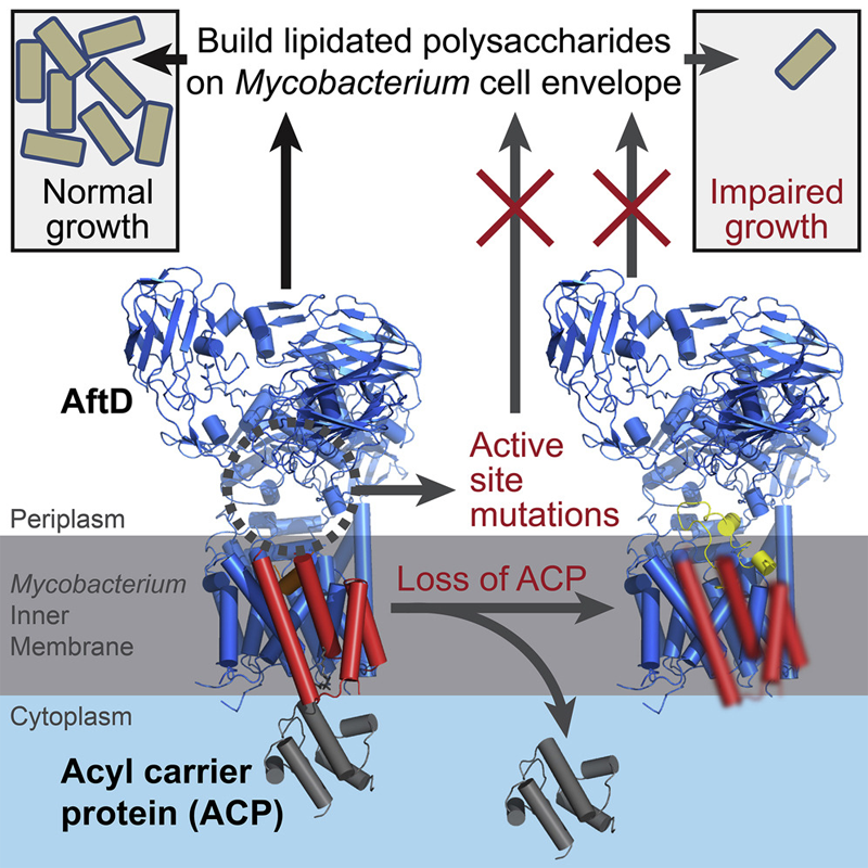 Cryo-EM Structures and Regulation of Arabinofuranosyltransferase AftD from Mycobacteria
