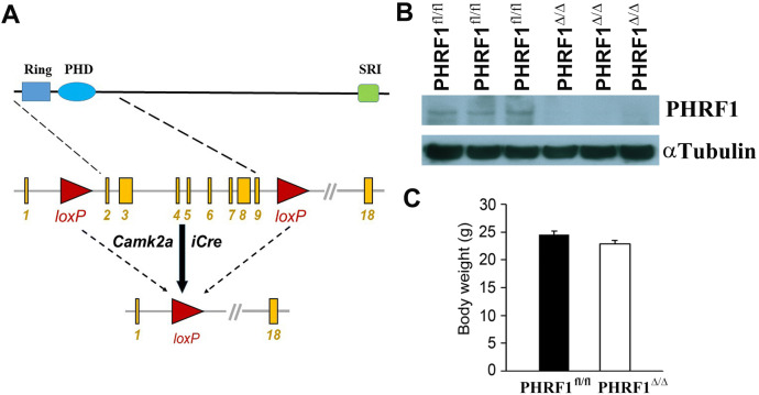 An important role of PHRF1 in dendritic architecture and memory formation by modulating TGF-β signaling
