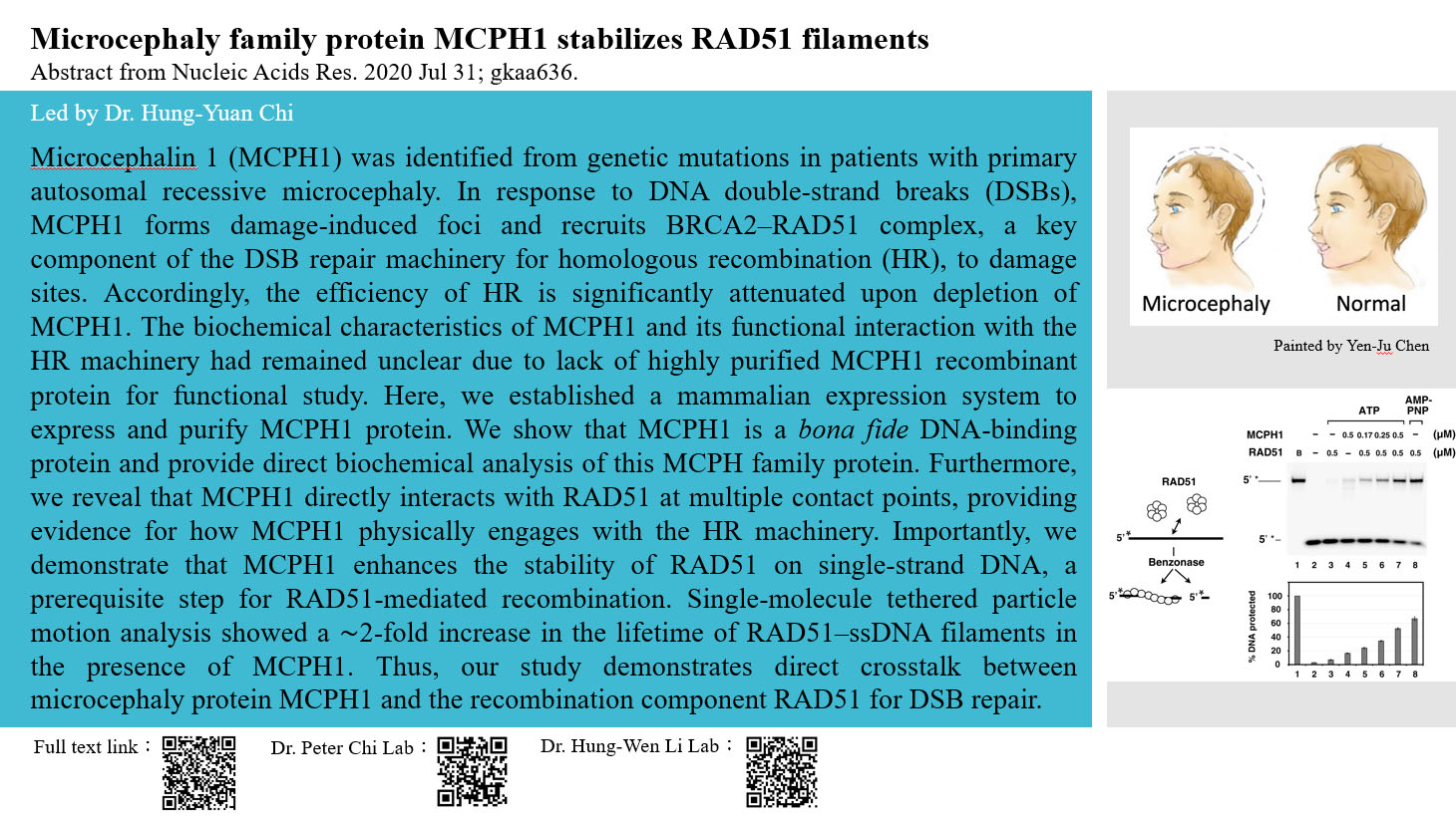 Microcephaly family protein MCPH1 stabilizes RAD51 filaments
